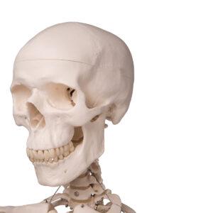 Anatomski modeli