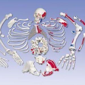 Kostur u dijelovima, obojani